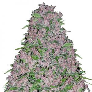 purple lightning strain