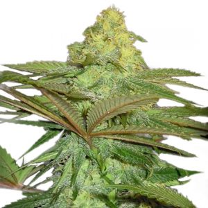 FOREST FRUITS AUTO-FEM